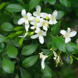 Satin Wood Tree Or Madhu Kamini - Flowering Shrubs