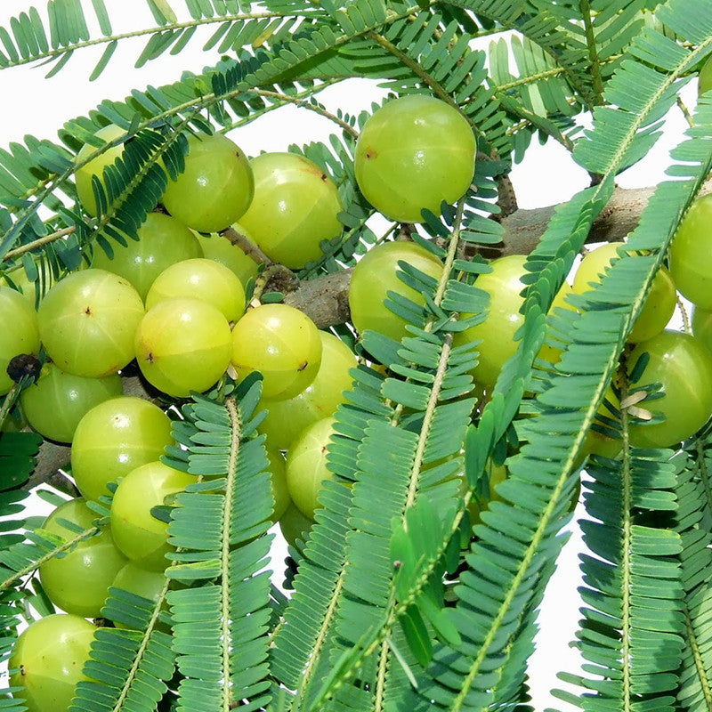 Amla Banaras (Grafted) - Big Size Plants