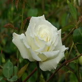 Rosa White Success - Flowering Shrubs