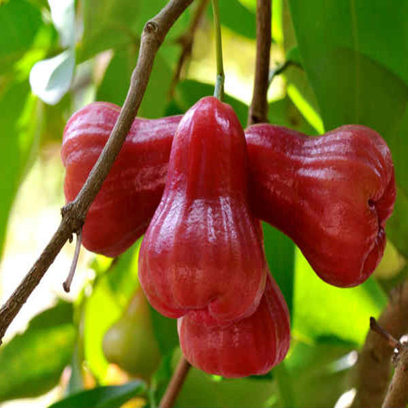 Rose Apple Jamaica Fruit