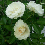 Rosa Crimson Glory White - Flowering Plants