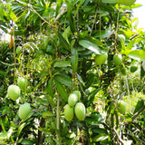 Mango Alphansa  (Grafted)- Big Size Plants