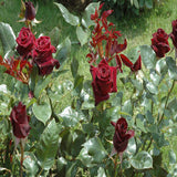 Maroon Rose - Flowering Plants