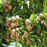 Chikoo-Pala(Grafted)- Fruit Plants & Tree