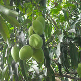 Mango Kothapalli kobbari (Grafted)- Big Size Plants