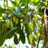 Cashew Nut Tree(Grafted)-Fruit Plants & Tree - Exotic Flora