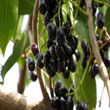 Jambolan(Grafted) - Fruit Plants & Tree