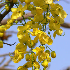Indian Laburnam Or Cassia Fistula - Avenue Trees