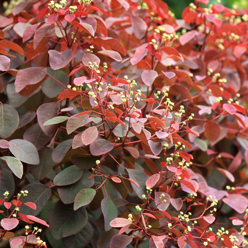 Euphorbia Cotonifolia - Ornamental Shrubs