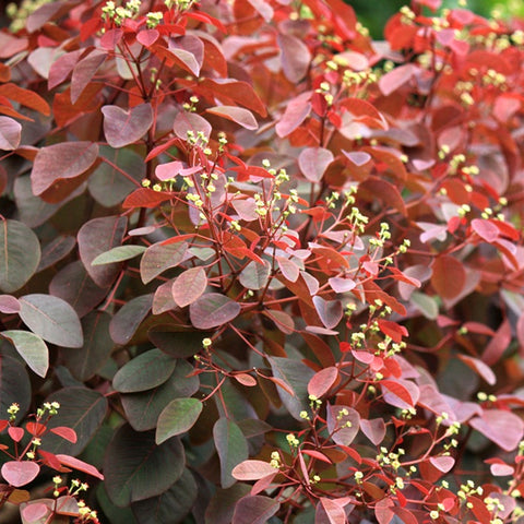 Euphorbia Cotonifolia - Ornamental Shrubs - Exotic Flora