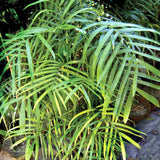 Chamaedorea Seifrizii Or Bamboo Palm - Indoor Air-Purifying