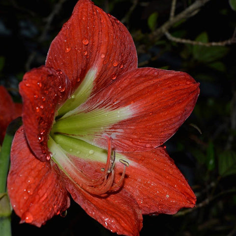 Amaryllis Lily, Red - Flowering Plants - Exotic Flora