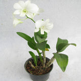 Dendrobium Orchid White - Flowering Plants - Exotic Flora