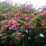 Cassia Javanica/Pink Shower Tree - Avenue Trees - Exotic Flora