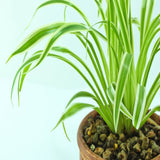 chlorophytum comosum/Yellow Spider Plant - Indoor Air-Purifying - Exotic Flora
