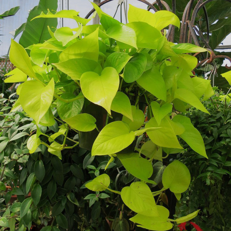 Money Plant Golden - Indoor Air-Purifying