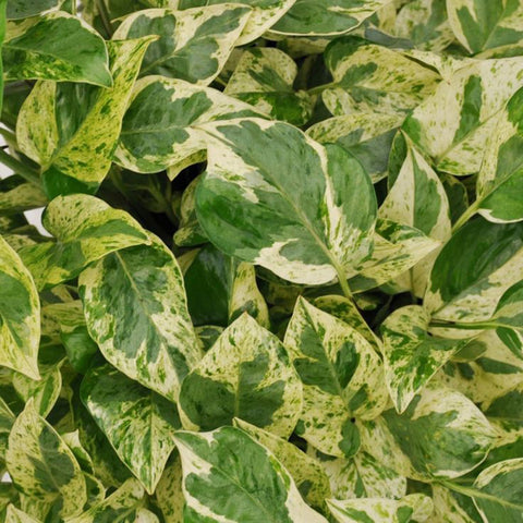 Epipremnum Aureum Goldii Or Money Plant Golden - Gift Plants - Exotic Flora