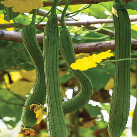 Sponge Gourd NS 441-Vegetable Seeds