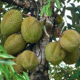 Durian Fruit - Fruit Plants & Tree - Exotic Flora