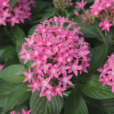 Pentas Pink - Flowering Plants