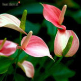 Anthurium Andreanum Baby Pink - Gift Plants - Exotic Flora
