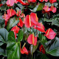 Anthurium Andreanum Red - Gift Plants - Exotic Flora