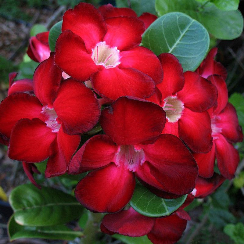 Adenium Red - Flowering Plants
