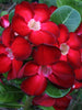 Adenium Red - Flowering Plants - Exotic Flora