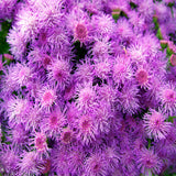 Ageratum-Flower Seeds - Exotic Flora