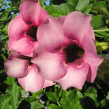 Allamanda purple Or Violet - Flowering Shrubs