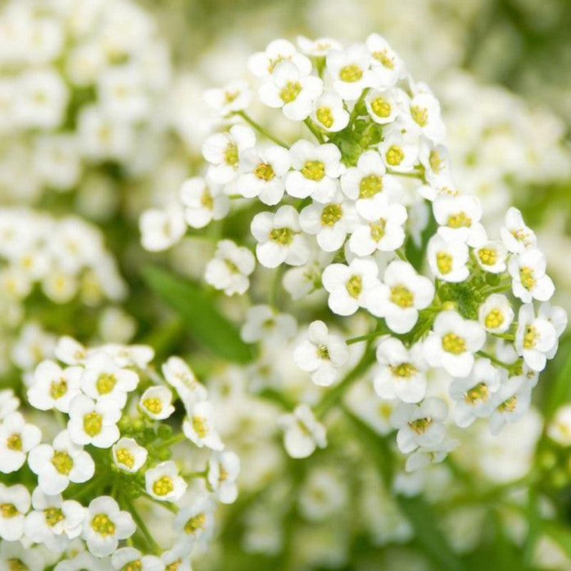 Alyssum-Flower Seeds