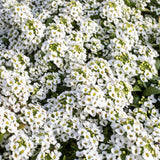 Alyssum-Flower Seeds - Exotic Flora