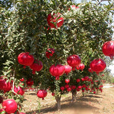 Pomegranate Bhagwa(Grafted) - Fruit Plants & Tree