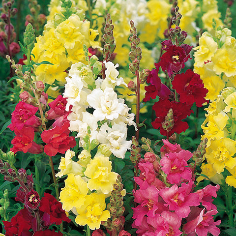 Antirrhinum Mix - Flower Seeds