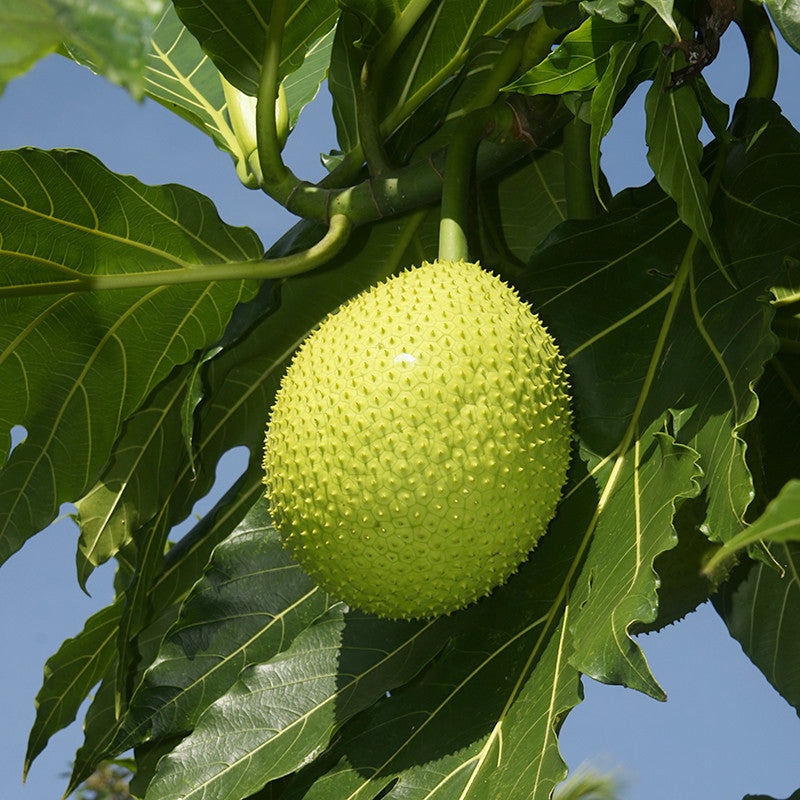 Bread Fruit - Fruit Plants & Tree