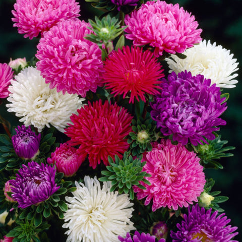 Aster-Flower Seeds - Exotic Flora
