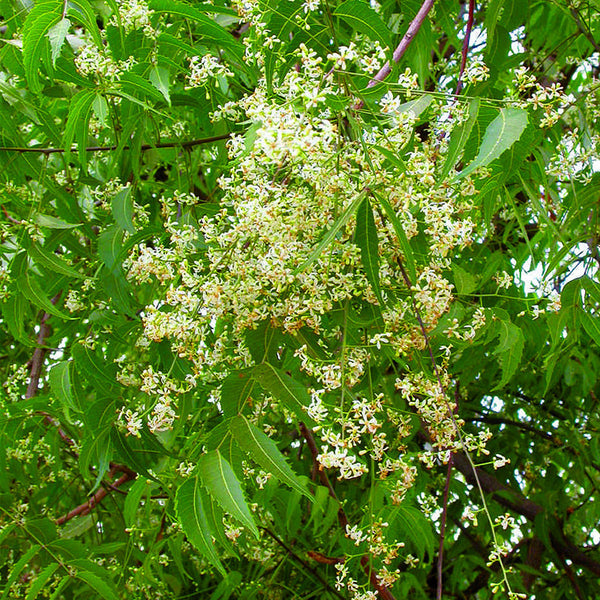 Indian Neem Tree Big Size Plants Exotic Space