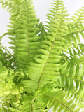 Golden Boston Fern - Indoor Plants