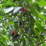 Garcinia Combogutta - Fruit Plants & Tree