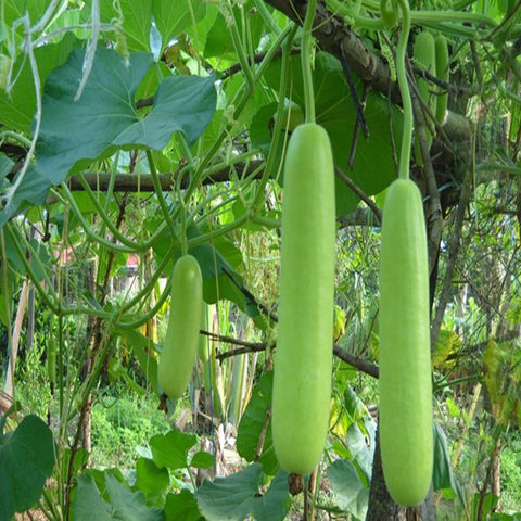 Bottle Gourd-Vegetable Seeds - Exotic Flora