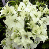 Bougainvillea White - Flowering Shrubs - Exotic Flora