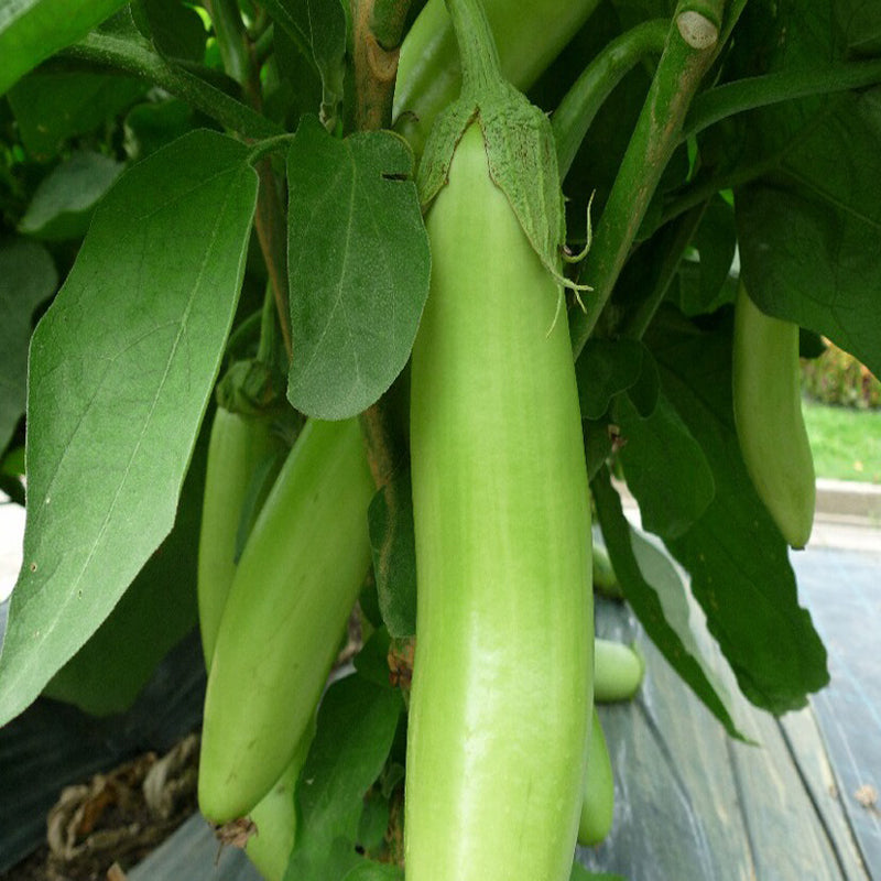 Brinjal Green Long-Vegetable Seeds - Exotic Flora