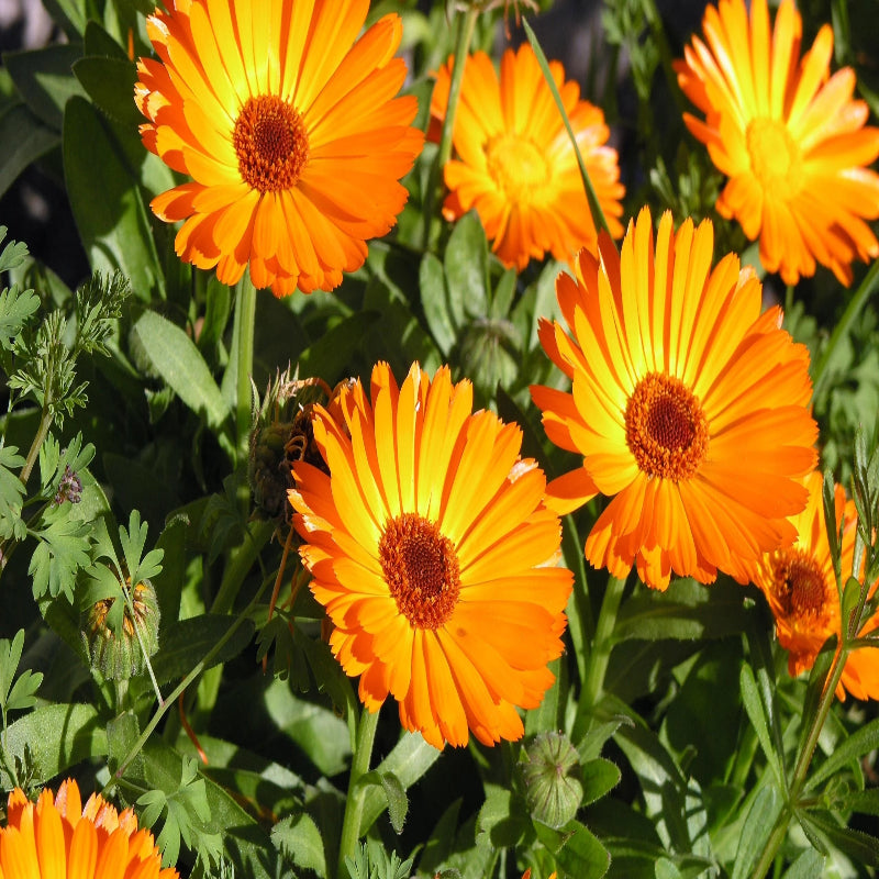 Calendula- Calendula Officinalis -Flowering seeds - Exotic Flora
