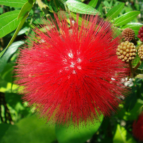 Powderpuff Hybrid Red Or Calliandra - Flowering Shrubs