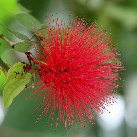 Powderpuff Hybrid Red/Calliandra - Flowering Shrubs