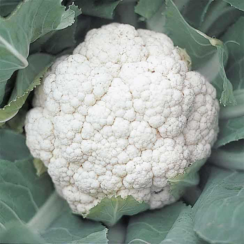 Cauliflower Shreya F1 HYB-Vegetable Seeds - Exotic Flora