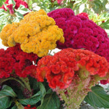 Celosia -Flower Seeds - Exotic Flora