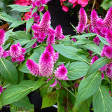 Celosia Argentea Pink - SEASONALS - Exotic Flora