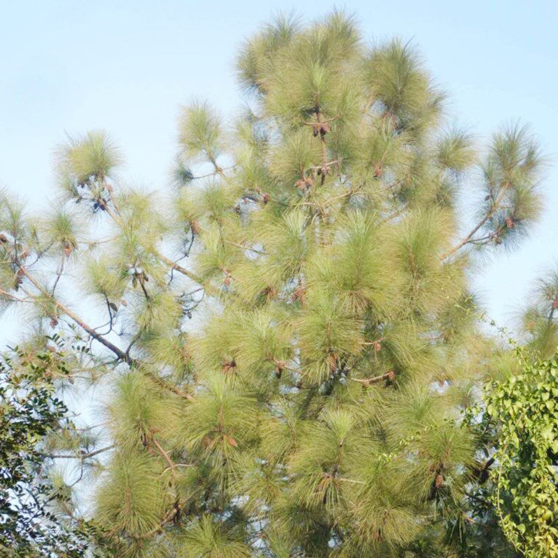 Chir Pine - Avenue Trees - Exotic Flora