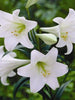 Amaryllis Lily, White - Flowering Plants - Exotic Flora